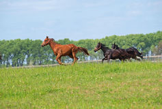 Young  stallions playing Royalty Free Stock Photos