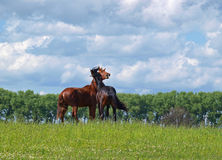Young  stallions playing. Two young pedigree stallions are played on to the meadow Royalty Free Stock Photography