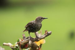 Young starling . A young starling on a perch against a blurred background Stock Photo
