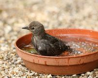 Young Starling bathing Royalty Free Stock Photo