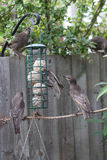 Young Starling feeding Royalty Free Stock Photo