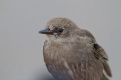Young Starling Royalty Free Stock Images