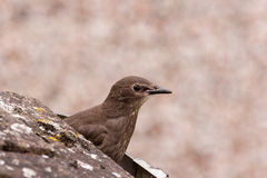 Young Starling Royalty Free Stock Photos