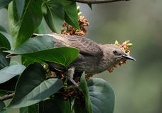 Young starling in Lilac tree. Royalty Free Stock Photo
