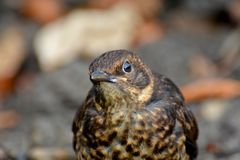 A young starling looks inquisitively ahead stock photography