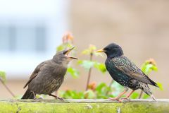 Young Starling and parent. My garden has been swarmed with starling fledglings shouting for food. may 2018 stock photos