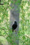 Young starling sits on  branch of  willow. Royalty Free Stock Photography