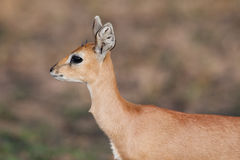 Young steenbok. A portrait of a young steenbok ram Stock Photo