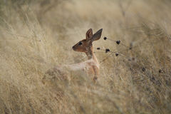 Young Steenbok in the grasslands of the Kalahari region South Af Stock Photography