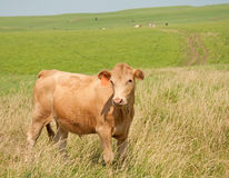 Young steer on prairie pasture Royalty Free Stock Photography
