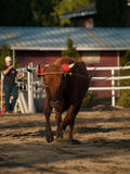 Young Steer Running and Roped Stock Image