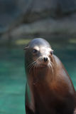 Young Stellar Sea Lion. Really cute stellar sea lion beside the water Stock Photo