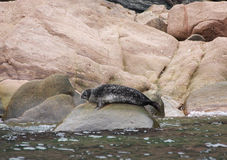 Steller Sea Lion on rocks Royalty Free Stock Photos