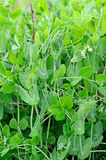 The young stems of peas Royalty Free Stock Photo