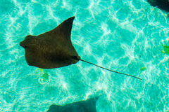 A Young StingRay royalty free stock photo