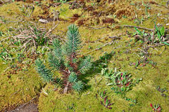Young stone pine on a carpet of moss Stock Images