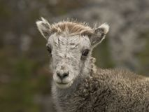 Young Stone's sheep (Ovis dalli stonei) Stock Photo