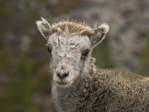 Young Stone's sheep (Ovis dalli stonei) stock photo