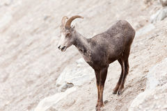 Young Stone Sheep ram Ovis dalli stonei Stock Photo