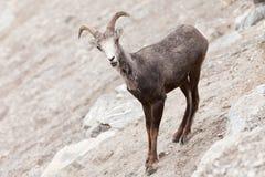 Young Stone Sheep ram Ovis dalli stonei Stock Photography