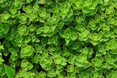 Young stonecrop Royalty Free Stock Image