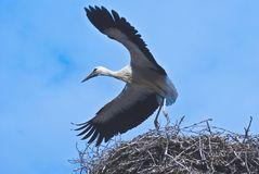 Young stork. Who train the young stork flying Royalty Free Stock Image