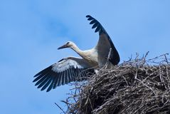 Young stork Royalty Free Stock Photo