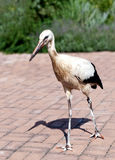 Young Stork Stock Photography