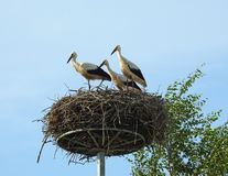 Young stork birds in nest, Lithuania Royalty Free Stock Photography