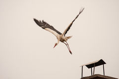 Young stork on first flight Stock Photography