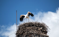 Young stork in nest Stock Image