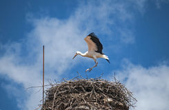 Young stork in nest Stock Photography