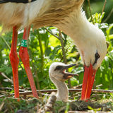 Young stork on it's nest Royalty Free Stock Photo