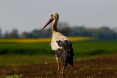 Young stork standing in the field, European stork, Ciconia Ciconia royalty free stock photography
