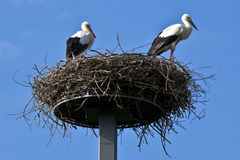 Young storks Stock Images