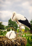 Young storks Royalty Free Stock Image