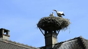 Young storks in a nest. Young storks clattering in a nest on a roof in Selz, alsace, France stock footage
