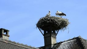Young storks in a nest. In Selz, Alsace, France with church bells beating the hours stock video