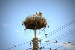 Young storks in nest Stock Image