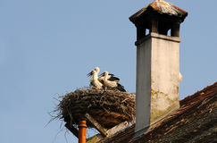 Young storks Royalty Free Stock Images