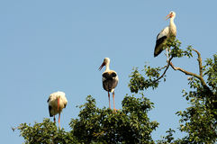 Young storks Royalty Free Stock Photography