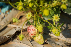 Young strawberry plant in the morning Stock Images