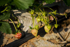 Young strawberry plant in the morning Royalty Free Stock Photos