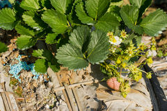 Young strawberry plant in the morning Stock Photography