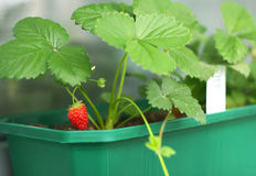 Young strawberry plant Royalty Free Stock Photo