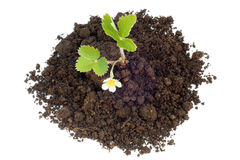 Young strawberry plant in soil Stock Photography
