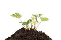 Young strawberry plant in soil. Isolated on a white background royalty free stock photography