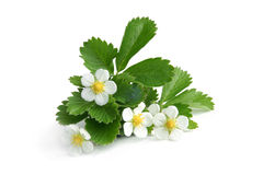 Young strawberry plant. On a white background stock images