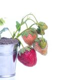 Young strawberry plant Royalty Free Stock Photos