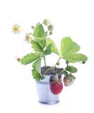 Young strawberry plant Stock Photography